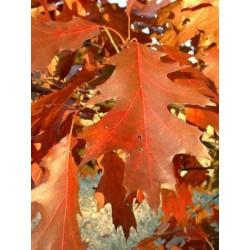 Quercus rubra  Chêne  rouge d 'Amérique