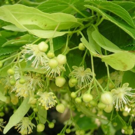 Tillia cordata greenspire