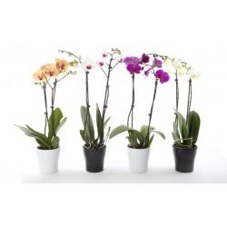 Phalaenopsis 2 branches pot de 12cm avec cache pot