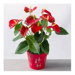 Anthurium Andréanum pot 17cm avec cache pot