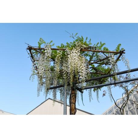 Glycine greffée su cadre parasol